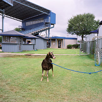 Goat tied up