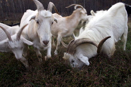 The Year of the Goat: Get Your Mountain Vittles Here